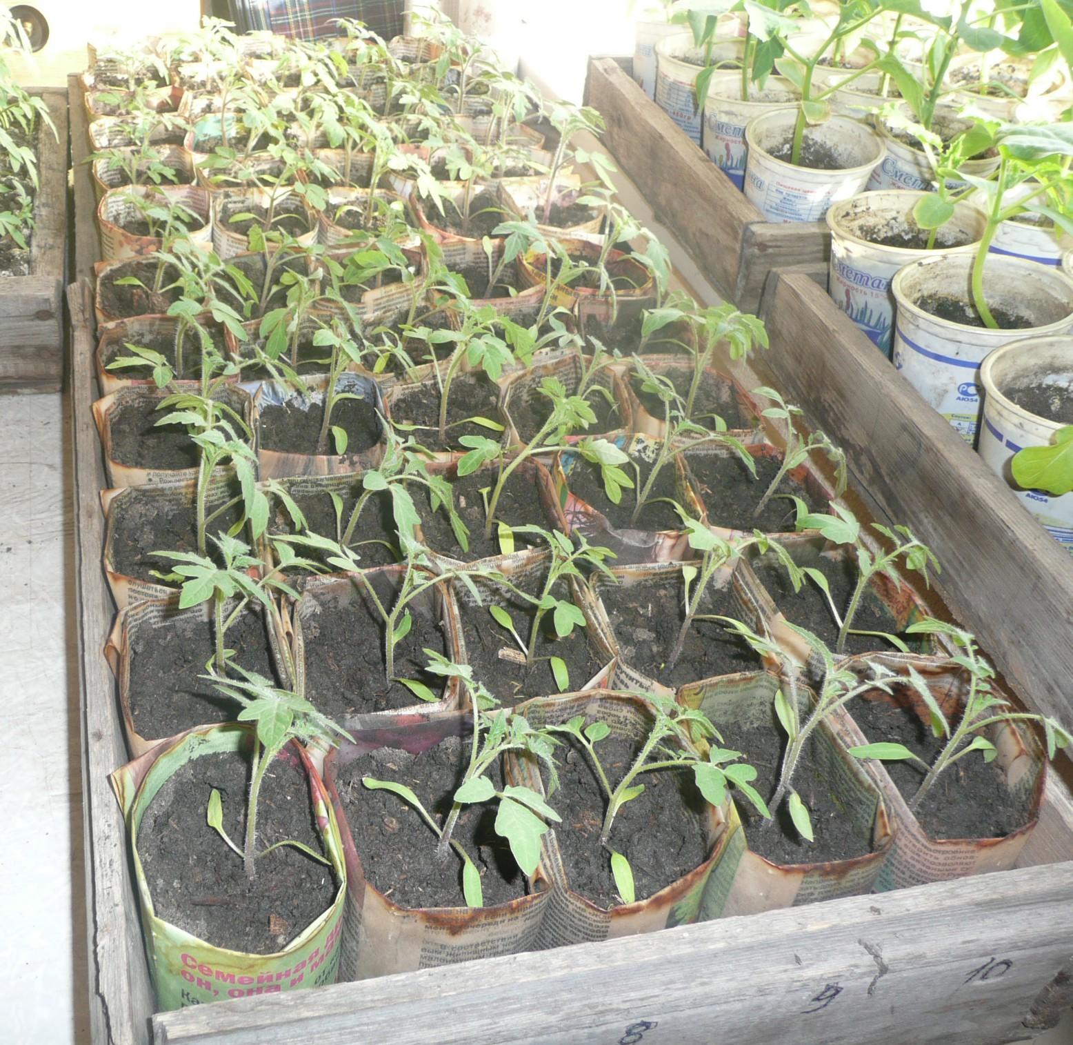 Как выращивать рассаду - когда и как сажать, посев и 99