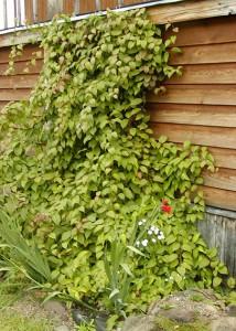 Вьющиеся растения по стене дома