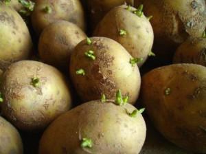 Как садить картошку