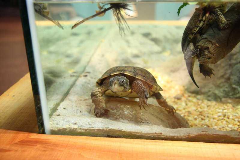 Речная черепаха в домашних условиях 917