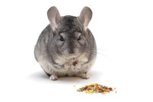 Как кормить шиншилл