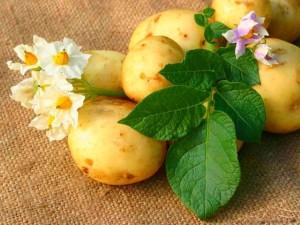 Большой урожай картошки